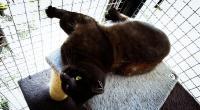 Topinka hot amazing Cat - unique black Diamond von Nine Lives Zvoleněves ♥  ♥  ♥  - ADOPTOVANÝ