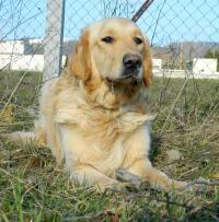 Goldy - pes jako med - R.I.P. :-(