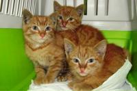 Mačiatka na adopciu - hľadáme aj dočasné opatery !