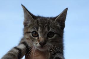 DIVIŠÁTKA - kotě - kočka, kocour 4 měsíce.
