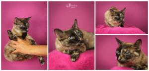 ❤ x Siamská kočička Sassenah'de Destiny hledá kouzelný domov❤