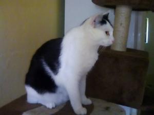 Kočička Beskydka