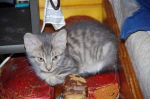 Koťátko, kočička Grace, stříbrnošedá kráska ♥