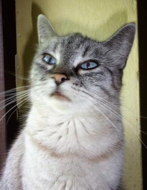 Modrooká kočička