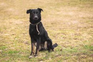 Fenka Pepper - kříženec ovčáka a labradora