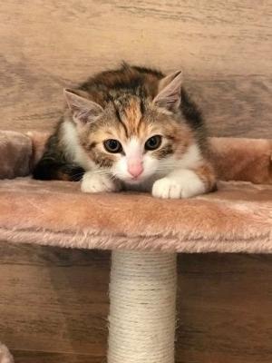 VENUŠKA - Čtyřbarevná kočička - ADOPTOVANÁ