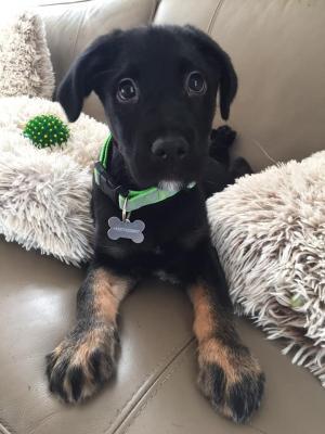 JOSH - Akční, chytré, veselé štěně  - ADOPTOVANÝ