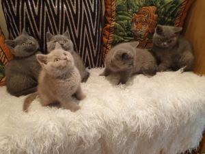 Britská krátkosrstá koťata