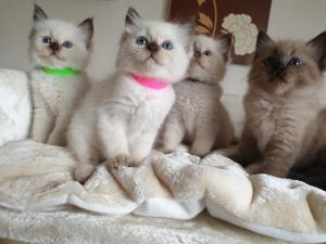 Ragdoll koťata