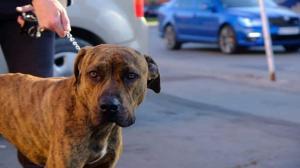 ASAN - Krásný majestátní pes atletické postavy s povahou a duší jehněte ❤