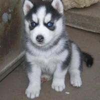 Vysoko kvalitné šteniatka sibírskeho huskyho s modrými očami pripravené